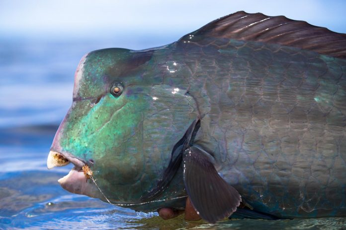 Bumphead Parrotfish, Seychelles