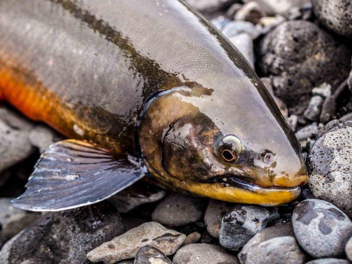 Fishpartner bleikja